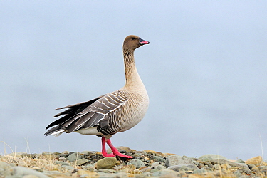 Pink-footed Goose (Anser brachyrhynchus) male, Norway
