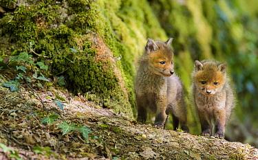 Red Fox (Vulpes vulpes) pups, France