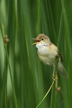 Eurasian Reed-Warbler (Acrocephalus scirpaceus) calling, Netherlands