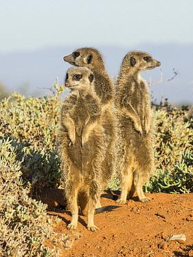 Meerkat (Suricata suricatta) trio on guard, South Africa