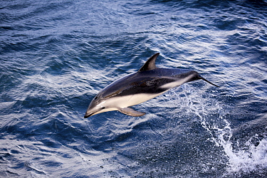 Dusky Dolphin (Lagenorhynchus obscurus) leaping, Chile