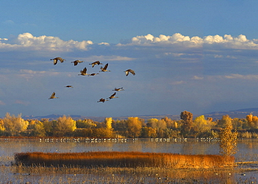Sandhill Crane (Grus canadensis) flock flying over pond with Snow Geese (Chen caerulescens), Bosque del Apache National Wildlife Refuge, New Mexico