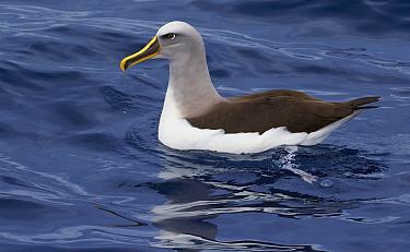 Buller's Albatross (Thalassarche bulleri), Eaglehawk Neck, Tasmania, Australia