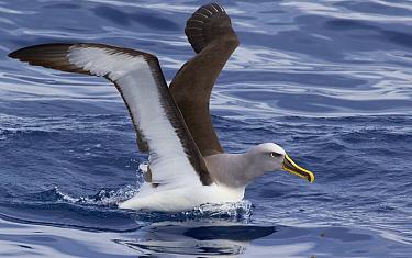 Buller's Albatross (Thalassarche bulleri) taking flight, Eaglehawk Neck, Tasmania, Australia