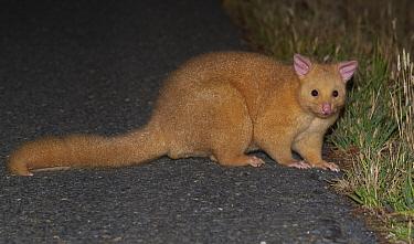 Common Brush-tailed Possum (Trichosurus vulpecula) crossing road at night, Bruny Island, Tasmania, Australia