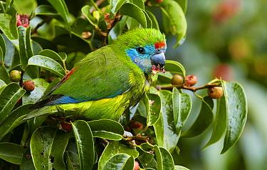 Double-eyed Fig-Parrot (Cyclopsitta diophthalma) feeding on fruiting fig, Lake Eacham, Queensland, Australia