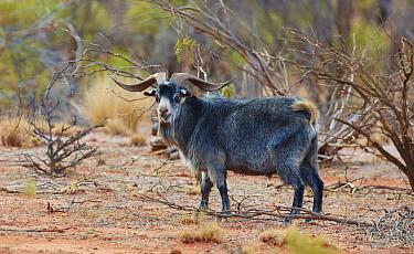 Wild Goat (Capra aegagrus), Hungerford, New South Wales, Australia