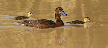 White-eyed Duck (Aythya australis) mother and ducklings swimming, Bedourie, Queensland, Australia