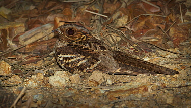 Large-tailed Nightjar (Caprimulgus macrurus) at night, Lockhart River, Cape York, Australia