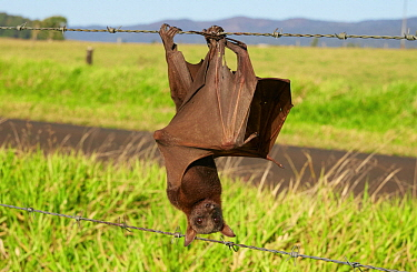 Little Red Flying Fox (Pteropus scapulatus) caught on barb-wired fence, Atherton, Queensland, Australia