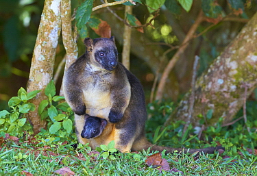 Lumholtz's Tree-kangaroo (Dendrolagus lumholtzi) mother with joey in pouch, Malanda, Queensland, Australia