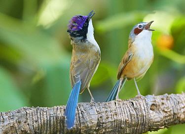 Purple-crowned Fairywren (Malurus coronatus) male calling to female, Lawnhill River, Queensland, Australia