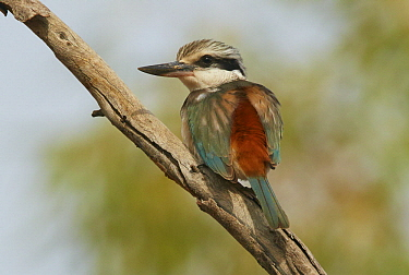 Red-backed Kingfisher (Todirhamphus pyrrhopygia), Mount Isa, Queensland, Australia