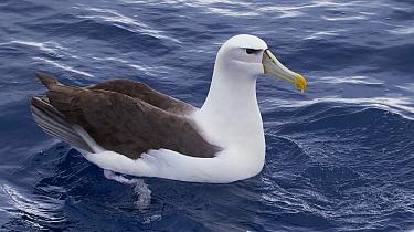 Shy Albatross (Thalassarche cauta), Eaglehawk Neck, Tasmania, Australia