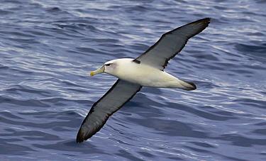 Shy Albatross (Thalassarche cauta) flying over the ocean, Eaglehawk Neck, Tasmania, Australia