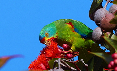 Swift Parrot (Lathamus discolor) feeding on Redflower Gum (Corymbia ficifolia) flower nectar, Bruny Island, Tasmania, Australia