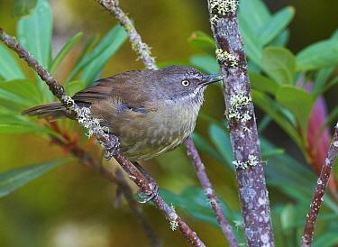 Brown Scrubwren (Sericornis humilis), Cradle Mountain-Lake Saint Clair National Park, Tasmania, Australia