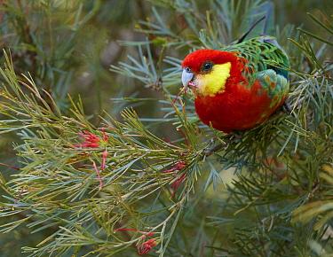 Western Rosella (Platycercus icterotis) feeding on flowers, Western Australia, Australia