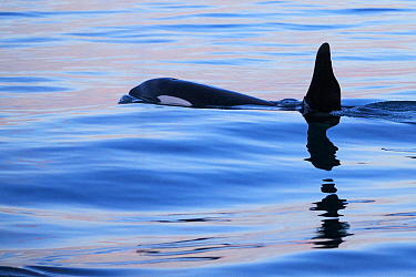 Orca (Orcinus orca), type one, male surfacing, Snaefellsnes Peninsula, western Iceland