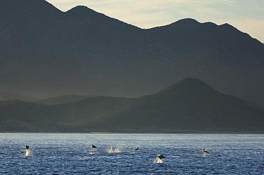 Munk's Devil Ray (Mobula munkiana) group leaping, Gulf of California, Baja California, Mexico