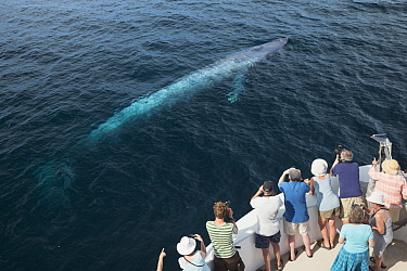 Blue Whale (Balaenoptera musculus) and whale watchers, Gulf of California, Baja California, Mexico