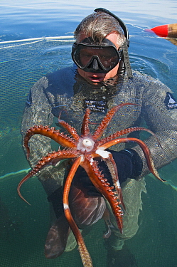 Humboldt Squid (Dosidicus gigas) young held by squid researcher Scott Cassell, Gulf of California, Baja California, Mexico