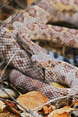 Santa Catalina Rattlesnake (Crotalus catalinensis) flicking tongue, Santa Catalina Island, Baja California, Mexico