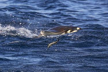 Munk's Devil Ray (Mobula munkiana) leaping, Gulf of California, Baja California, Mexico