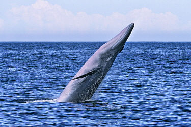 Bryde's Whale (Balaenoptera edeni) breaching, Gulf of California, Baja California, Mexico
