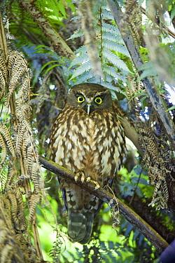 Morepork (Ninox novaeseelandiae) owl, Tiritiri Matangi Island, North Island, New Zealand
