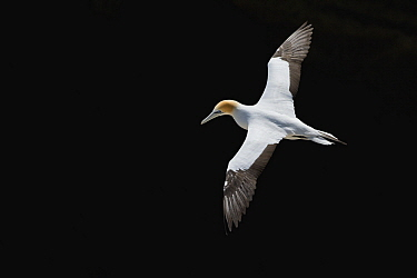 Australian Gannet (Morus serrator) flying, Auckland, North Island, New Zealand