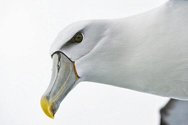 Shy Albatross (Thalassarche cauta) flying, Stewart Island, New Zealand