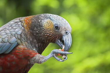 New Zealand Kaka (Nestor meridionalis) feeding, South Island, New Zealand