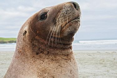 Hooker's Sea Lion (Phocarctos hookeri), South Island, New Zealand