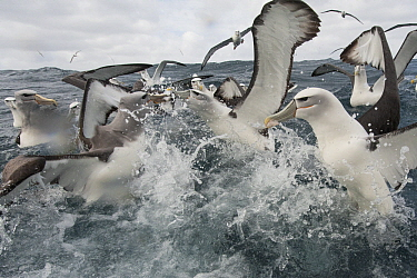 Shy Albatross (Thalassarche cauta) group fighting over food, Stewart Island, New Zealand