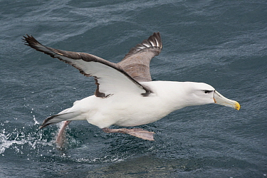 Shy Albatross (Thalassarche cauta) taking flight, Stewart Island, New Zealand