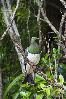 New Zealand Pigeon (Hemiphaga novaeseelandiae), Stewart Island, New Zealand