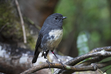 New Zealand Robin (Petroica australis) banded male, Stewart Island, New Zealand