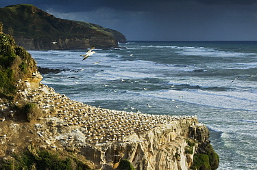 Australian Gannet (Morus serrator) nesting colony on cliff, Auckland, North Island, New Zealand