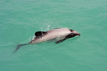 Hector's Dolphin (Cephalorhynchus hectori) porpoising, Banks Peninsula, South Island, New Zealand