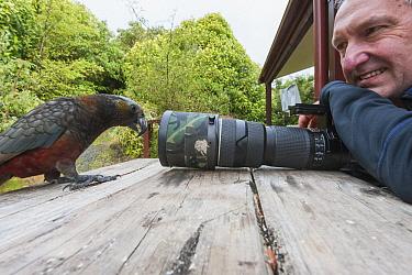 New Zealand Kaka (Nestor meridionalis) investigating camera with Mark Carwardine, South Island, New Zealand
