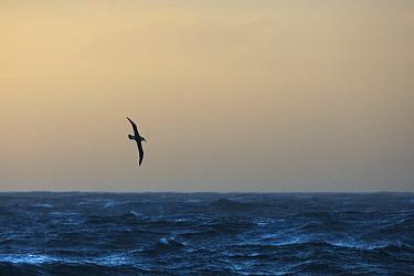 Black-browed Albatross (Thalassarche melanophrys) flying over ocean, Gold Harbor, South Georgia Island