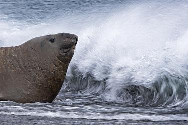 Southern Elephant Seal (Mirounga leonina) being splashed by waves, Salisbury Plain, South Georgia Island