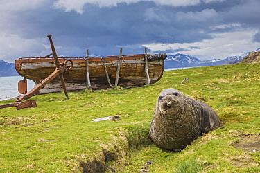 Southern Elephant Seal (Mirounga leonina) with abandoned boat, Grytviken, South Georgia Island