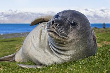 Southern Elephant Seal (Mirounga leonina) pup, Grytviken, South Georgia Island