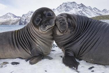 Southern Elephant Seal (Mirounga leonina) pups play-fighting, Royal Bay, South Georgia Island