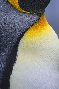 King Penguin (Aptenodytes patagonicus) feather pattern, Salisbury Plain, South Georgia Island