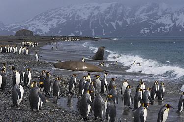 King Penguin (Aptenodytes patagonicus) group with Southern Elephant Seals (Mirounga leonina) beach, Salisbury Plain, South Georgia Island