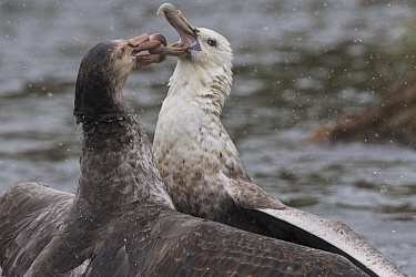 Northern Giant Petrel (Macronectes halli) fighting with Antarctic Giant Petrel (Macronectes giganteus), Gold Harbor, South Georgia Island