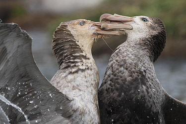 Northern Giant Petrel (Macronectes halli) pair fighting, Gold Harbor, South Georgia Island